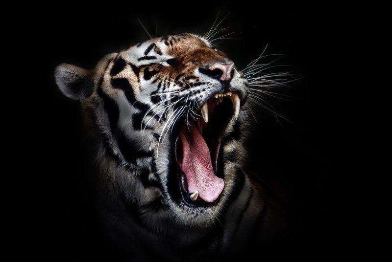 tiger-655593_1280